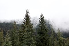 Beautiful evergreen spruce and snow-capped forest peaks stock photos