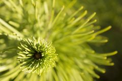Beautiful evergreen tree branch with sunlights royalty free stock image