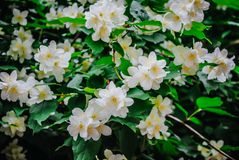 Beautiful evergreen white jasmine flower stock photo