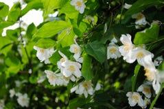 Beautiful evergreen white jasmine flower stock photography