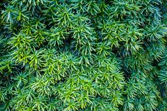 Beautiful evergreen yew tree, Taxus baccata in garden.  royalty free stock photography