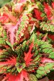Beautiful example of healthy Coleus plants in garden Stock Images