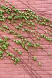 Vertical image of pink brick wall with lush green ivy trailing across the face of it Stock Photo