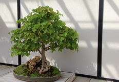 Beautiful example of old, cultivated miniature tree in large pot Royalty Free Stock Photography