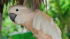 Beautiful calm excited tropical bird white parrot sitting on a tree observing looking in 4k close up shot stock video