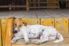 Beautiful Exhausted Dog Sleeping On Wooden Stair In Cambodia Royalty Free Stock Photo