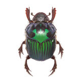 Beautiful exotic beetle dung Oxysternon conspicillatum Stock Photography