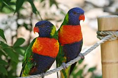 Beautiful exotic birds. Two very colorful exotic birds perched on a rope Stock Photo