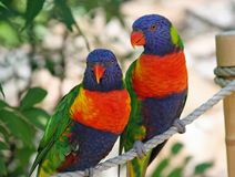 Beautiful exotic birds. Two very colorful exotic birds perched on a rope Royalty Free Stock Images