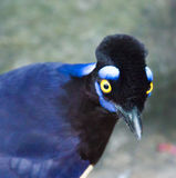 Beautiful and Exotic Blue Bird Royalty Free Stock Images