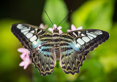Beautiful exotic butterfly perching on flower. Royalty Free Stock Image