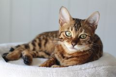 Beautiful exotic cat portrait.  stock photo