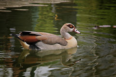 Beautiful exotic duck swimming. A picture of a beautiful exotic duck swimming, with its reflection in the water Stock Photography