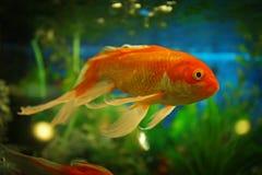Beautiful exotic fish. In aquarium Stock Photography