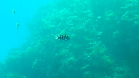 Beautiful exotic fish and corals in the red sea. Colorful underwater world with corals and small colorful fish, slow motion. Beautiful exotic fish and corals in stock video footage