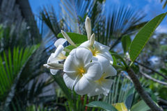 Beautiful exotic flower called Plumeria. Thailand Stock Image