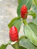 Beautiful exotic flower. Nice exotic plant, Sri Lanka royalty free stock photo