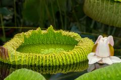 The beauty of Kew Gardens, waterlily royalty free stock images