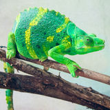 Beautiful and exotic green chameleon Stock Photo