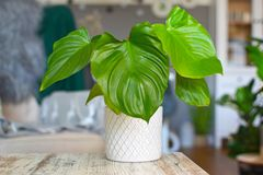 Exotic Homalomena Rubescens house plant in white pot in front of blurry living room in background royalty free stock photography