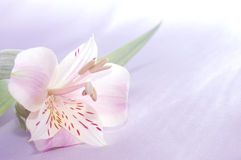 Beautiful exotic lilly Stock Photos