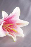 Beautiful exotic lilly Royalty Free Stock Images