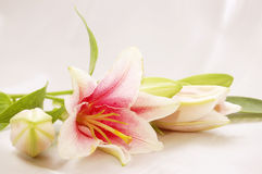 Beautiful exotic lily Royalty Free Stock Images