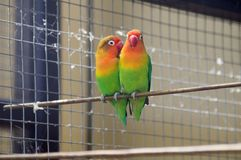 Beautiful exotic parrots in aviarie royalty free stock photo