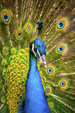 Beautiful exotic peacock Stock Image