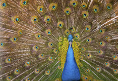 Beautiful exotic peacock Royalty Free Stock Photos
