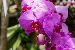 Beautiful exotic Phalaenopsis orchids Royalty Free Stock Image