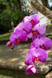 Beautiful exotic Phalaenopsis orchids Royalty Free Stock Photos