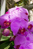 Beautiful exotic Phalaenopsis orchids Stock Photos