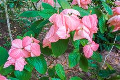 Beautiful exotic pink flowers tree in Thailand. Beautiful exotic pink flowers tree Royalty Free Stock Photo