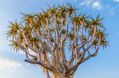 Beautiful exotic quiver tree in rocky and arid Namibian landscape, Namibia, Southern Africa Stock Photography