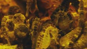 Beautiful exotic seahorse in the aquarium. Underwater Scene. 3840x2160, 4k. Beautiful exotic seahorse in the aquarium. Underwater Scene. 3840x2160 stock video footage