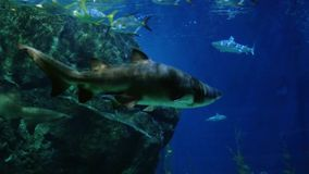 Beautiful exotic see fish and a shark in an aquarium. Underwater Scene. 4k stock footage