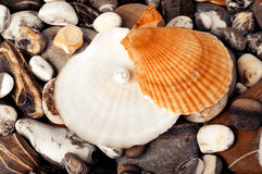 Beautiful exotic shell and pearl Royalty Free Stock Image