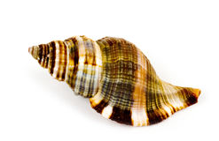 Beautiful exotic shell Royalty Free Stock Photo