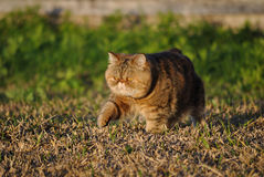Beautiful exotic shorthair cat stock photo