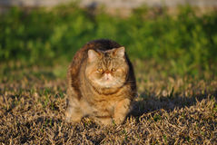 Beautiful exotic shorthair cat royalty free stock images