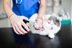 Veterinary woman with cat royalty free stock photography