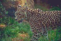 Cheetah alone in color at the zoo in summer in close-up royalty free stock photography