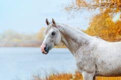 Beautiful expressive portrait of a white stallion Arabian stock photo
