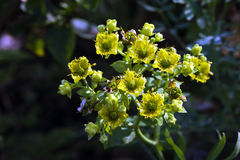 Beautiful and extravagant micro yellow flower Royalty Free Stock Image