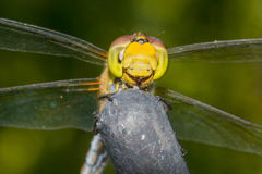 Beautiful extreme macro colorful dragonfly insect resting on stick in summer Royalty Free Stock Photography