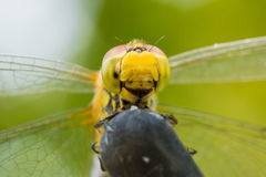 Beautiful extreme macro colorful dragonfly insect resting on stick in summer Stock Photo
