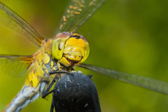Beautiful extreme macro colorful dragonfly insect resting on stick in summer Royalty Free Stock Photos