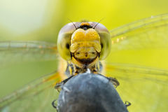 Beautiful extreme macro colorful dragonfly insect resting on stick in summer Stock Photography