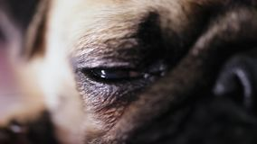 Beautiful eye of a cute pug dog. Close up, macro shot. stock video